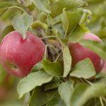 Молдова стала одним из мировых лидеров по экспорту яблок